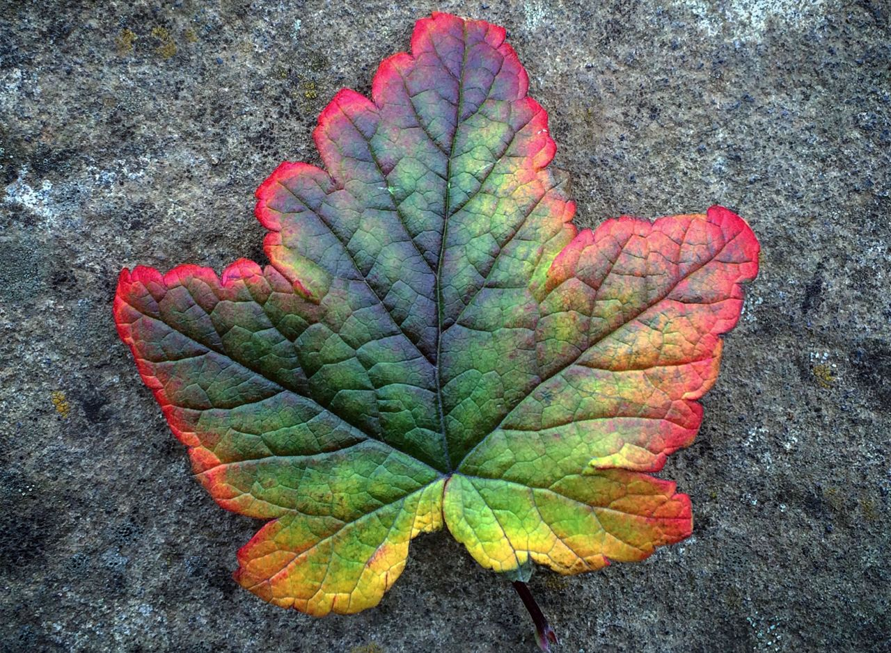 A red, green, yellow and purple leaf in Iceland. From our Guide to Iceland weather in October blog post.