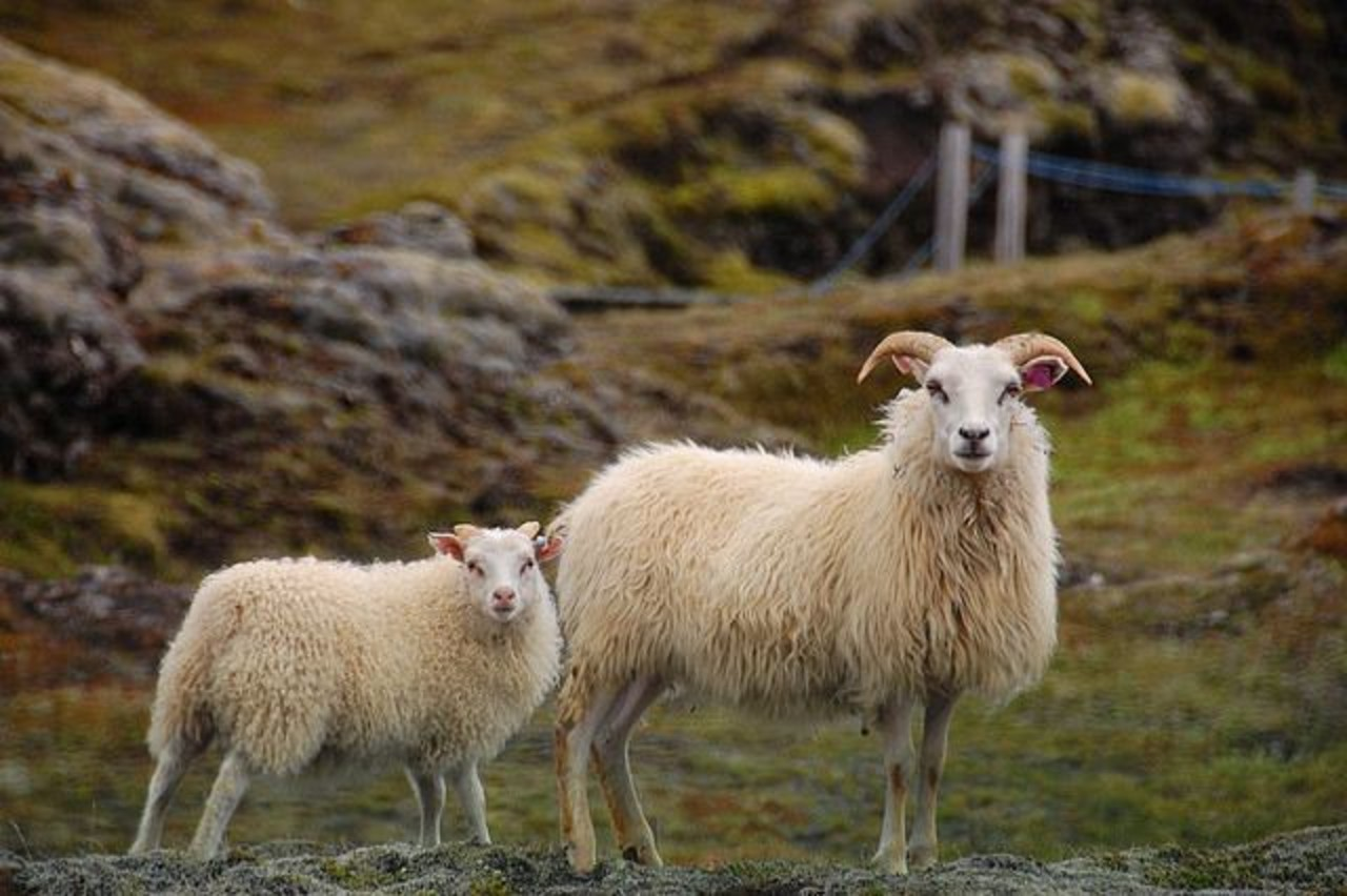 An Icelandic sheep with it's lamb in close to an Icelandic Road. A common sight in Iceland.