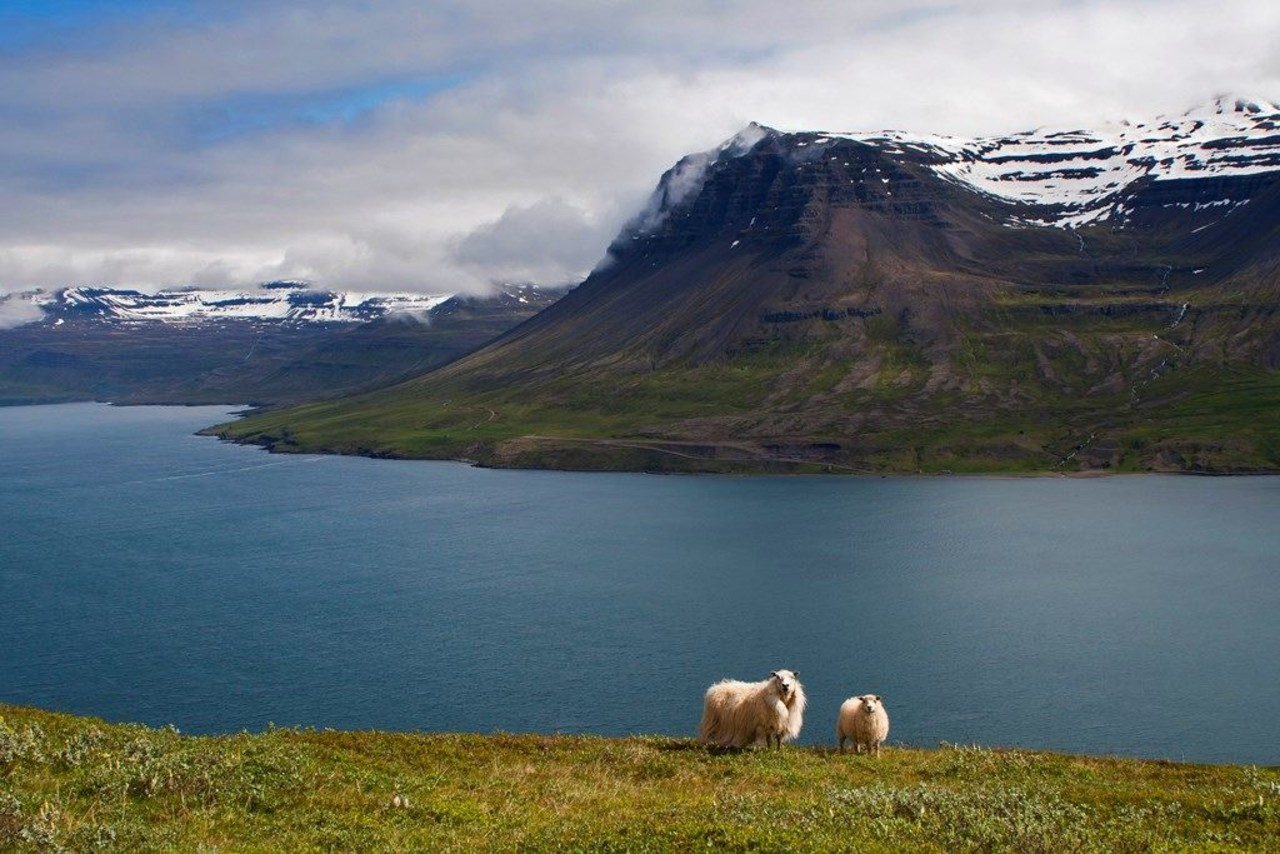 A sheep and her lamb standing on a green hill with a sea, mountains and the fjord behind in summer