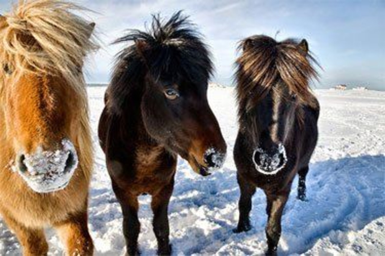 Three horses in the winter
